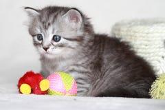 Siberian kattunge, silverversion Arkivbild