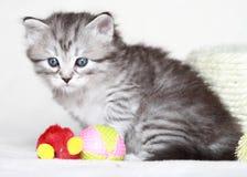 Siberian kattunge, silverversion Royaltyfri Fotografi