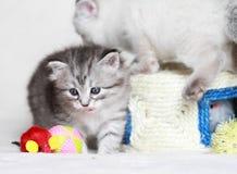 Siberian kattunge, silverversion Arkivfoto