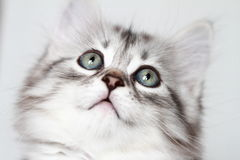 Siberian kattunge, silverversion, valp Arkivfoto