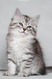 Siberian kattunge, silverversion, valp Arkivbilder