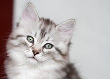Siberian kattunge, silverversion, valp Royaltyfria Bilder