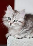 Siberian kattunge, silverversion, valp Arkivfoton