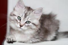 Siberian kattunge, silverversion, valp Fotografering för Bildbyråer