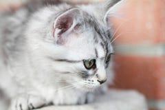 Siberian kattunge, silverversion, valp Arkivbild
