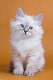 Siberian kitten royalty free stock photography