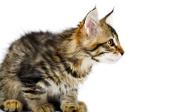 Siberian kitten Stock Images