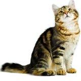 Siberian kitten Royalty Free Stock Photo