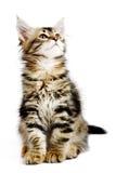 Siberian kitten Royalty Free Stock Images