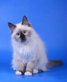 Siberian kitten. Siberian cat on a blue background Stock Photography