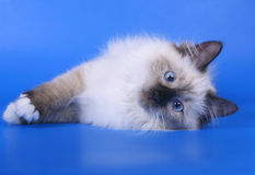 Siberian kitten. Royalty Free Stock Images