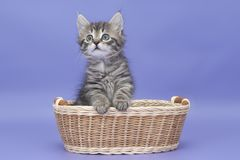 Siberian kitten Royalty Free Stock Photos