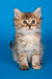 Siberian kitten. Sitting on a blue background in a studio royalty free stock photos
