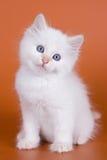 Siberian kitten Royalty Free Stock Image