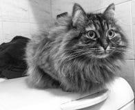 Siberian kitten in the bathroom Royalty Free Stock Photo
