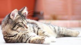 Siberian kitten, brown version Stock Photography
