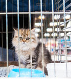 Siberian kitten in the cage Stock Photo