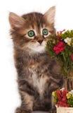 Siberian kitten Royalty Free Stock Photos