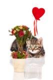 Siberian kitten Stock Image
