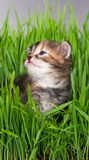 Siberian kitten Stock Photography