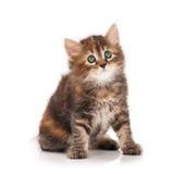 Siberian kitten Stock Photo