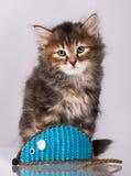 Siberian kitten Stock Images