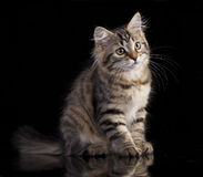 Siberian kitten and flowers Stock Images