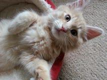 Siberian kitten. Ginger and cream kitten royalty free stock photos
