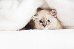 Siberian kitten Stock Photo