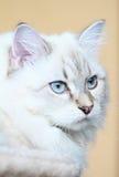 Siberian kitten, neva masquerade version Stock Photo