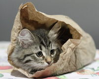Siberian kitten in a paper bag Royalty Free Stock Photos