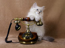 Siberian kitten with retro phone Royalty Free Stock Images