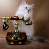 Siberian kitten with retro phone stock images