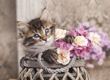 Siberian kitten. And roses close-up portrait Stock Photos