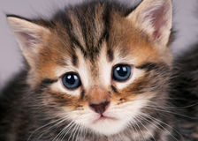 Siberian kitten Royalty Free Stock Photography