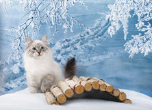 Siberian kitten in snow royalty free stock photos