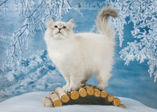 Siberian kitten in snow stock photo