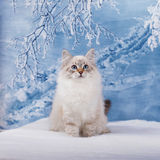 Siberian kitten in snow Royalty Free Stock Image