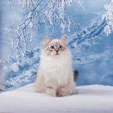 Siberian kitten in snow royalty free stock image
