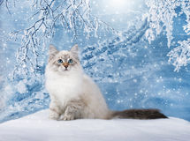 Siberian kitten in snow Stock Photography
