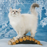 Siberian kitten in snow royalty free stock photo