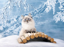 Siberian kitten in snow Stock Image