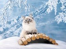 Siberian kitten in snow stock image