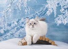 Siberian kitten in winter nature royalty free stock photos