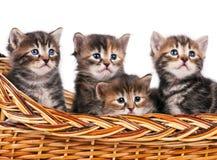 Free Siberian Kittens Stock Images - 52367704
