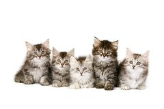 Free Siberian Kittens Stock Images - 7969944