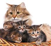 Siberian kittens Royalty Free Stock Photo