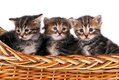 Siberian kittens Royalty Free Stock Photography