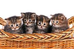 Siberian kittens Stock Photos