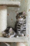 Siberian kittens Royalty Free Stock Photos